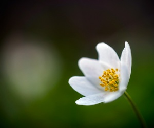 Anémone des bois, Anemone nemorosa, photographie nature, zipanatura