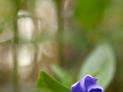 Fleur de petite pervenche