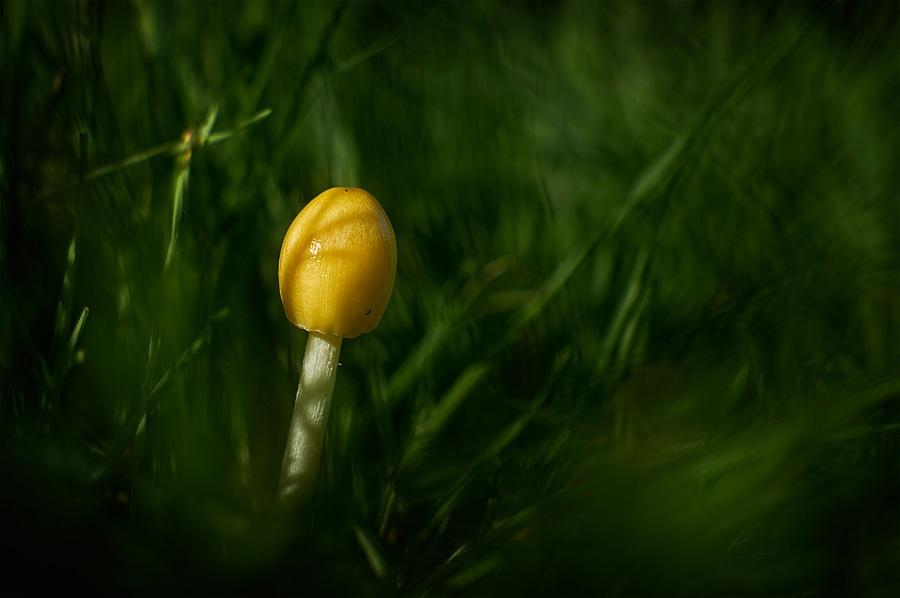Bolbitie jaune d'oeuf