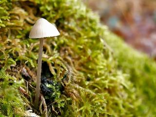 champignon-mousse