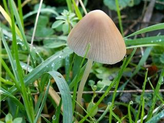 Champignon mycene