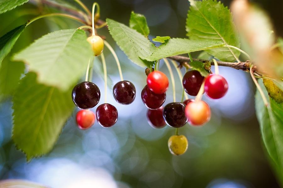 Merises, Prunus avium, photographie nature, zipanatura