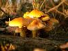 champignons-souche