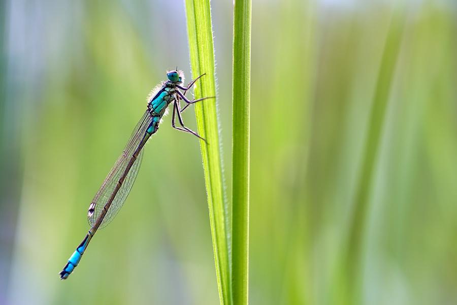 Ischnura elegans: