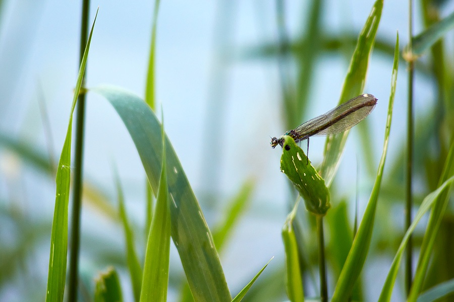 Libellule, caloptéryx virgo, photographie nature, zipanatura