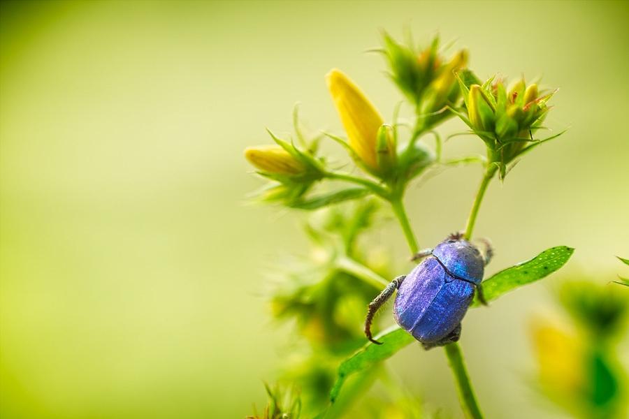 Hoplie, photographie nature, zipanatura