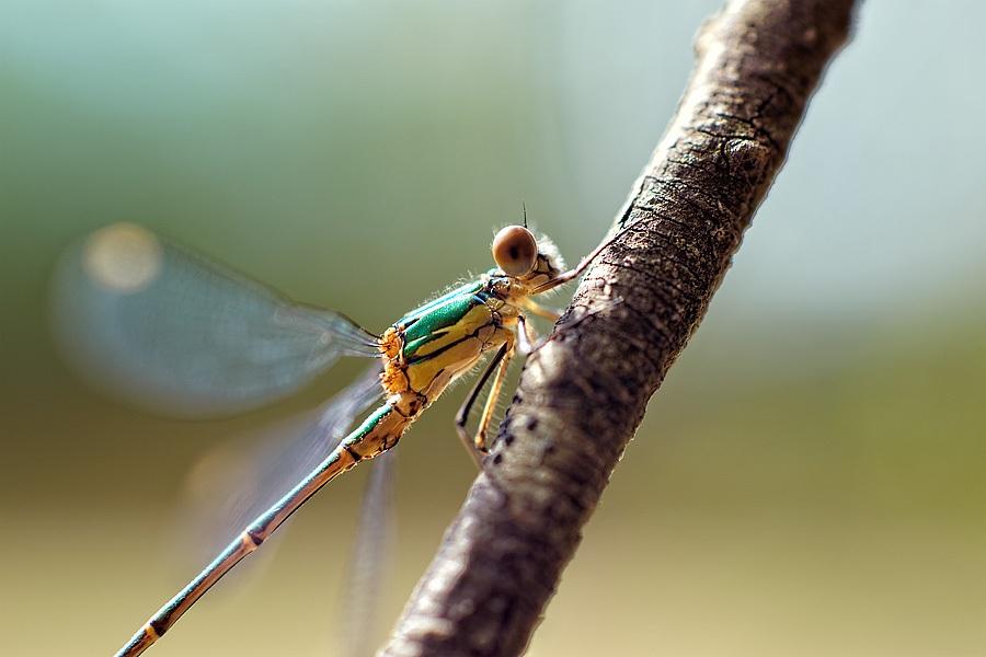 Leste vert, photographie nature, zipanatura