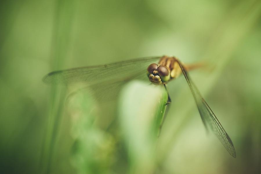Sympetre, photographie nature, zipanatura