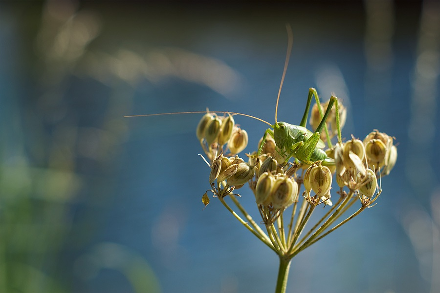 Sauterelle verte, photographie nature, zipanatura