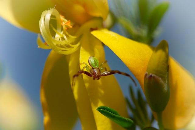 Misumenops tricuspidatus