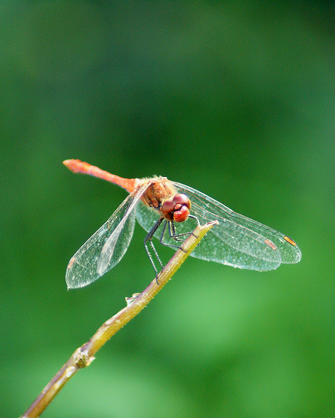 libellule-sympetrum-rouge