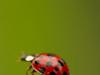 Coccinelle asiatique rouge