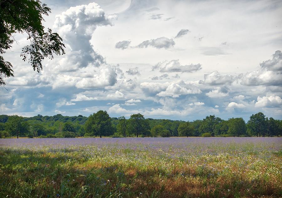 Champ de bleuets, photographie nature, zipanatura