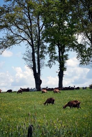 A l'ombre des chèvres
