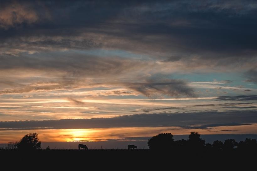 Vaches au crépuscule