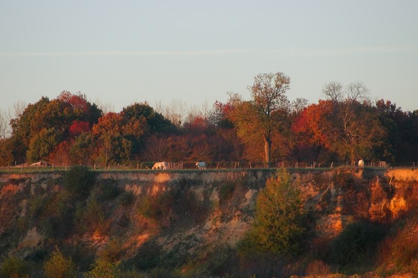Les charolaises et la Loire