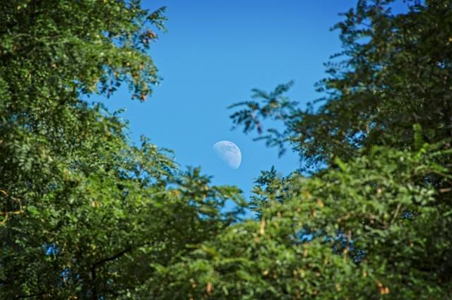 Lune et acacias