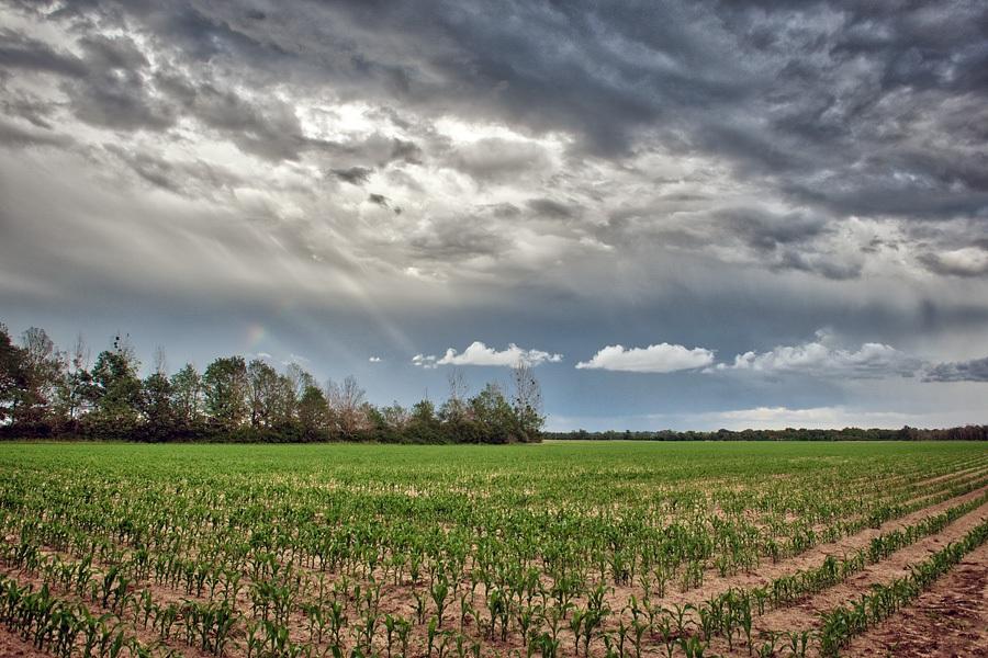 Champ maïs, photographie nature, zipanatura