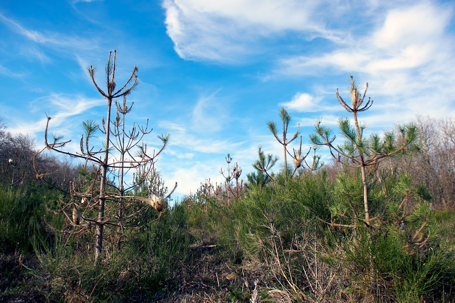 Pins, forêt, photographie nature, zipanatura