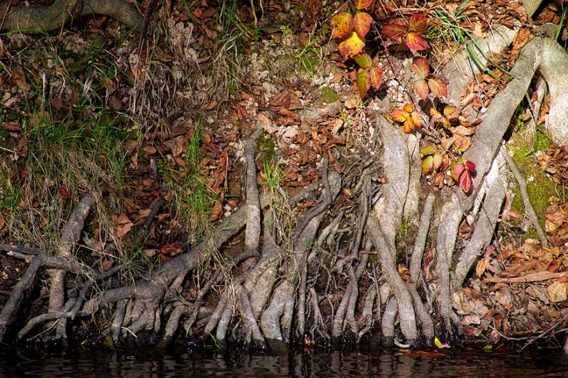 Racines à la rivière