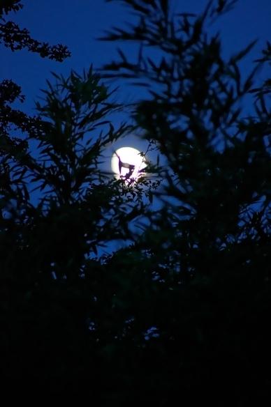 Lune dans les bambous