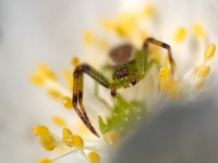 Anémone, l'araignée
