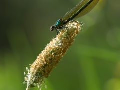 Caloptéryx éclatant (femelle)