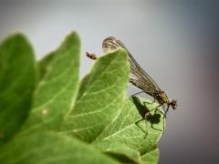 Caloptéryx éclatant