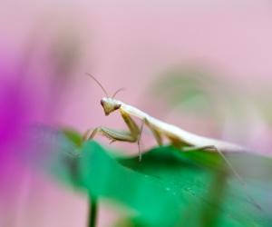 Jeune mante religieuse, Mantis religiosa, photographie nature, zipanatura