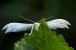 Pterophore blanc