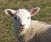 petit-mouton
